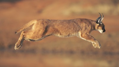 Interesting Facts About The Caracal